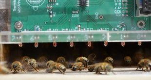 arilar sicak yaz gunlerinde nasil serin kalir 310x165 - Arılar Sıcak Yaz Günlerinde Nasıl Serin Kalır