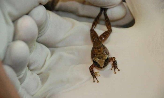 Kurbağa Derisindeki Bakteriler İnsanlarda Bulunan Mantar Enfeksiyonu ile Savaşmaya Yardımcı Olabilir