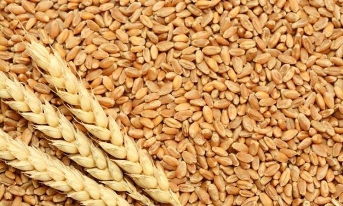 Tahılların Protein İçeriği de Azalıyor
