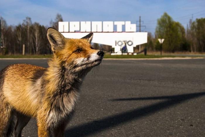 Çernobil, Zamanla 'Tesadüfi Bir Vahşi Yaşam Koruma Alanı' Haline Geldi