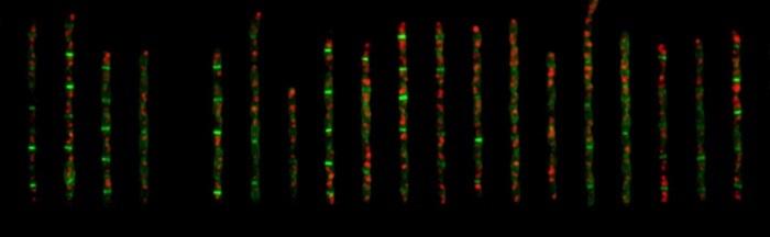 Hücre Boyutunu Kontrol Eden Mekanizma Çözüldü