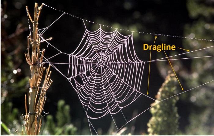 Bilinen En Dayanıklı Örümcek Ağında Yeni Bir Protein Keşfedildi