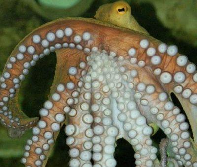 Mürekkep Balığı Çevre Dostu Plastiklere Alternatif Olabilir mi?