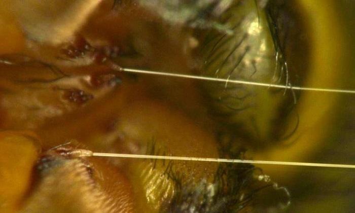 Örümcek İpeği Robotik Kas Olarak Kullanılabilir Mi?