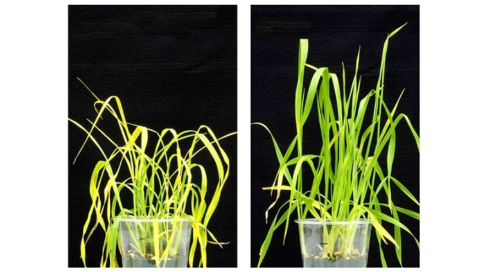 Bilim İnsanları, Bitkilerin Kuraklıktan Etkilenmesini Önleyen Bir Kimyasal Geliştirdi