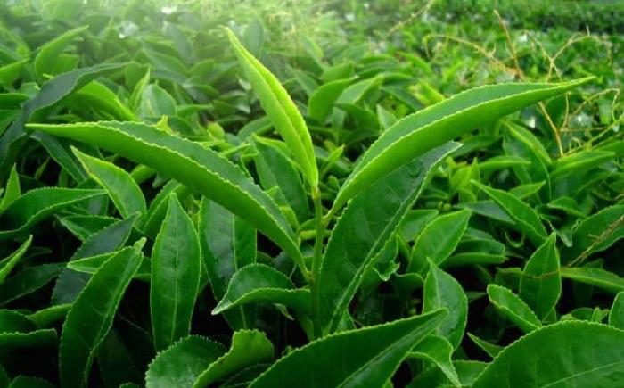 Yeşil Çayda Bulunan Bir Bileşik, Antibiyotiğe Dirençli Bakteriler ile Savaşıyor