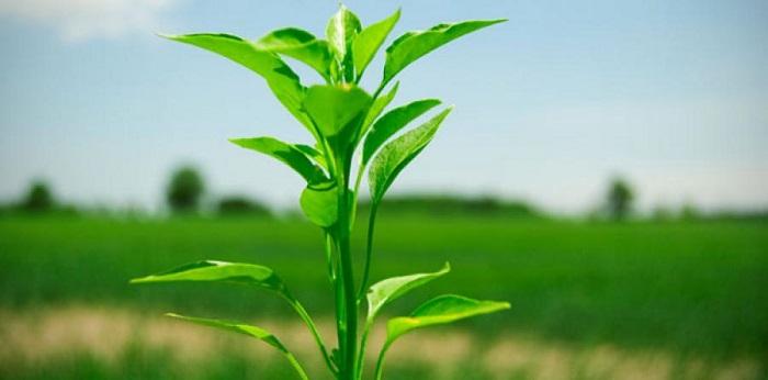 Bitkiler Kök Tüylerini Nasıl Büyütür?