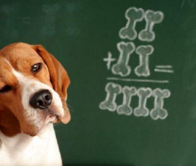 Köpekler Sayısal Değerleri İnsanla Benzer Bir Beyin Bölgesi ile Değerlendiriyor