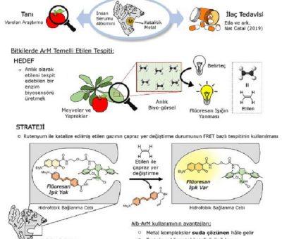 Meyvelerdeki Etilen Seviyesini Gösterebilen 'Metalloenzim' Biyosensörü