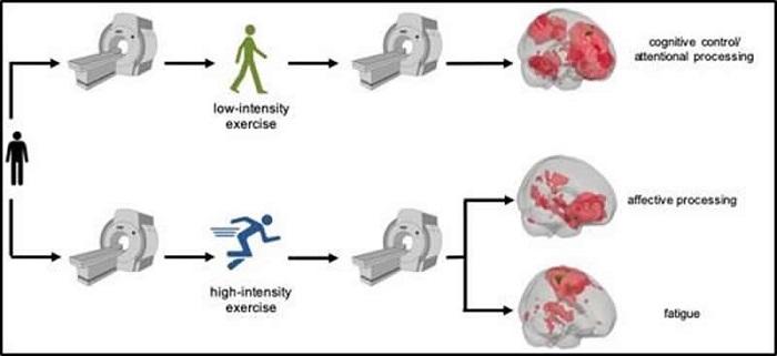 Egzersizin Düşük ve Yüksek Yoğunlukta Olması Beyin Fonksiyonlarını Farklı Etkiliyor
