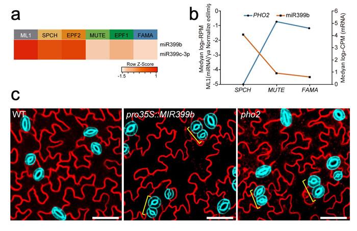 MikroRNA'lar Bitki Gözeneklerini Düzenlemede Rol Oynarlar