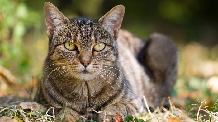 Koronavirüs Kedileri Enfekte Edebilir