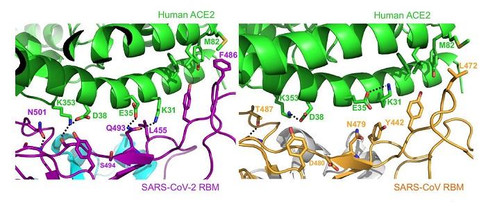 Yapısal Çalışmalar Koronavirüsün İnsan Hücresine Nasıl Bağlandığını Açıklıyor