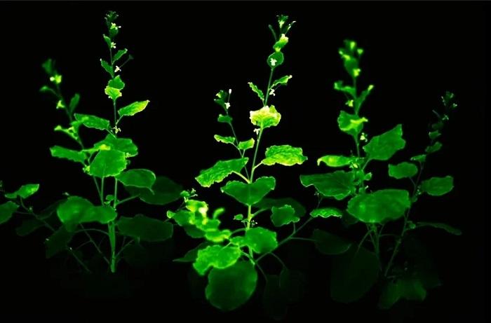 Bilim İnsanları, Tüm Hayatı Boyunca Parlayan Bitki Üretmeyi Başardı