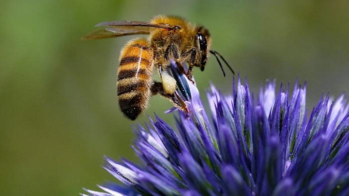 Bal Arısı Zehiri Agresif Meme Kanseri Hücrelerini Öldürüyor