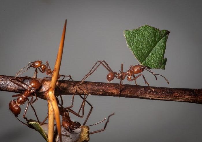 Böcek İlacı Kullanımını Azaltmak ve Bitki Haşerelerini Yakalamak: Karınca Feromon'u Kullanımı