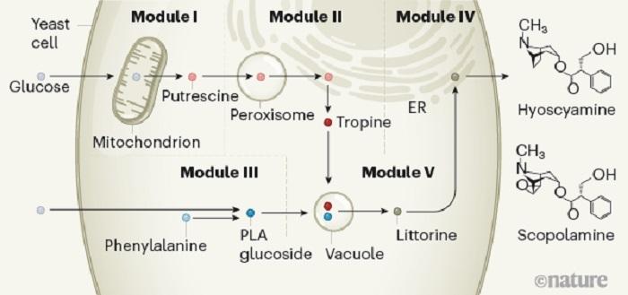 Genetik Olarak Tasarlanmış Maya İlaçlar için Gereken Bitkisel Kimyasalları Üretebilir