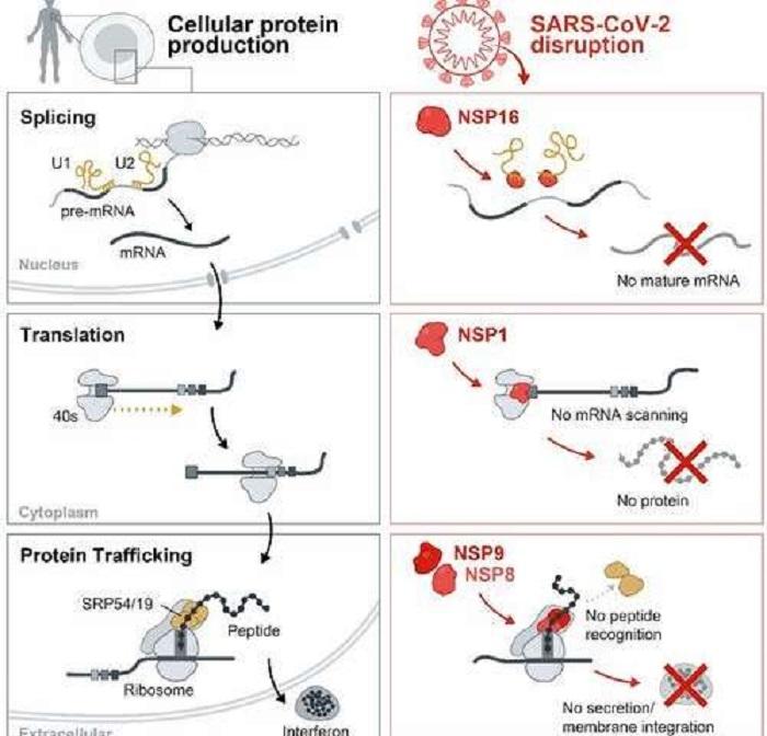 SARS-CoV-2 İnsan Hücresel Alarm Sistemini Nasıl Etkisiz Hale Getirir?