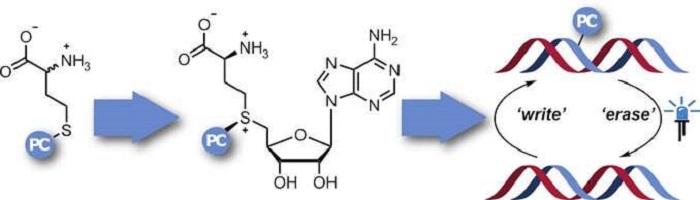 Gen Regülasyonunda Enzimatik Fotokafesleme Yönteminin Kullanılması