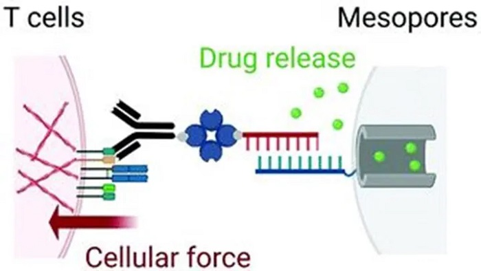 İmmünoterapi Uygulamalarında T Hücrelerine Destek Olabilecek Antineoplastik İlaç Mekanizması Geliştirildi