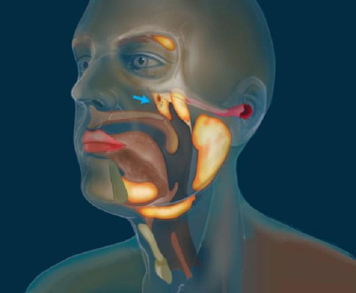 Tüberyal Bezler: İnsan Vücudunda Yeni Organ Keşfedildi