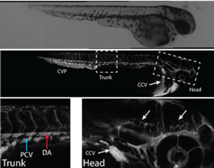 Beyindeki Polimer Nanopartiküller