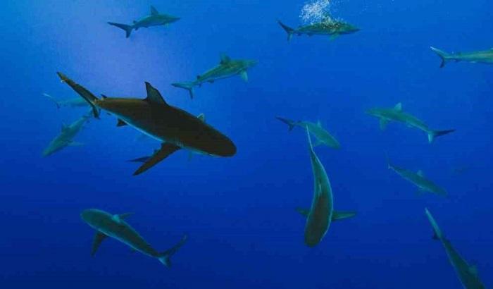 Biyosentetik Skualen Üretimi Sayesinde Sayısız Köpek Balığının Hayatı Kurtuluyor