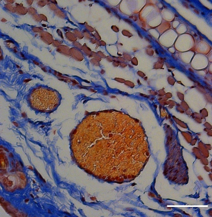 Kırmızı Kan Hücreleri, Işık ve Bal Arısı Peptidi