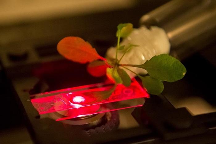 Nanoteknoloji, Bitkileri Süper Şarjlı Enerji Üreticilerine veya Patlayıcılar için Sensörlere Dönüştürebilir!