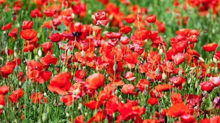 Bilim İnsanları Çiçeklerin Kokusunu Değiştirdi