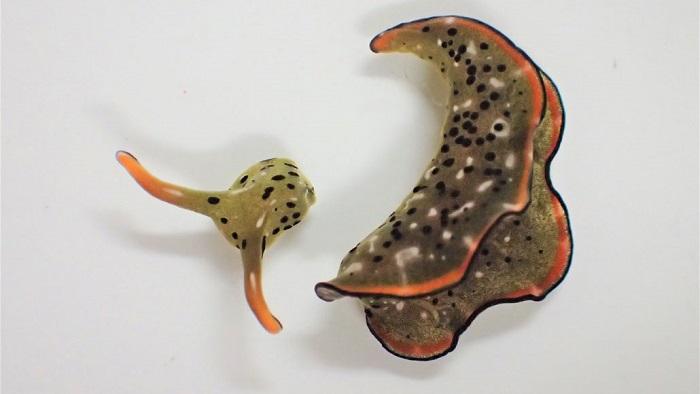 Deniz Sümüklüböceğinin Kopuk Kafası Etrafta Dolaşarak Kendine Yepyeni Bir Vücut Oluşturabilir