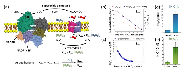 Hücre Dışında Hidrojen Peroksit Miktarını Ölçebilen Bir Biyosensör Geliştirildi!