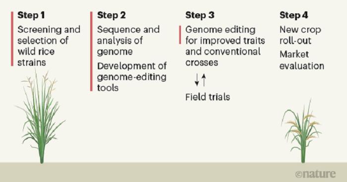 Poliploidi Özelliği Gösteren Vahşi Tip Pirincin Evcilleştirilmesi için Gen Düzenlenmesinde Kullanılan Harita