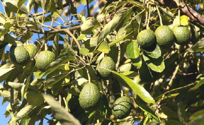 Sağlıklı Bir Sindirim Sistemi için Avokado Tüketin!