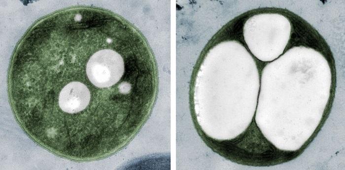 Siyanobakteriler Plastik Endüstrisinde Devrim Yapabilir