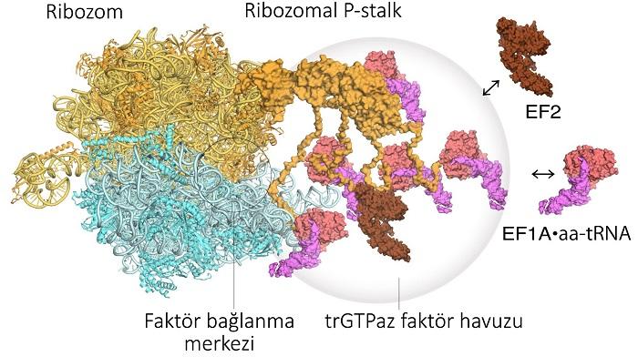 Yüksek Hızlı Atomik Kuvvet Mikroskobu Protein Fabrikalarını Ortaya Çıkarttı