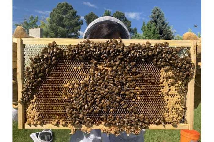 Bal Arıları Kademeli Koku Alma Davranışı Sergileyerek Kraliçelerini Bulur