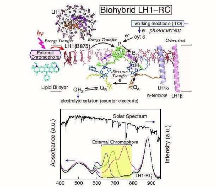Bilim İnsanları Florofor Ekleyerek Fotosentetik Enzim Geliştirdiler