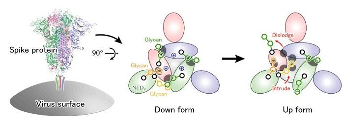 Glikanların COVİD-19 Enfeksiyonundaki Önemi