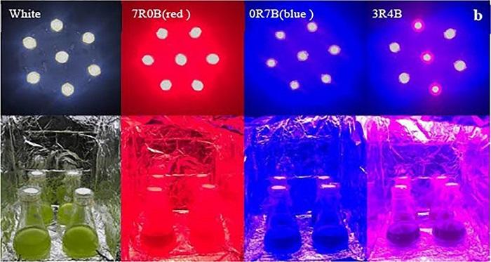 Renkli LED Aydınlatma Yeni Nesil Biyoyakıt için Mikroalglerin Biyosentezini Gerçekleştiriyor