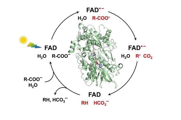 Yeşil Kimya ve Biyoyakıt: FAP Fotoenziminin Mekanizması