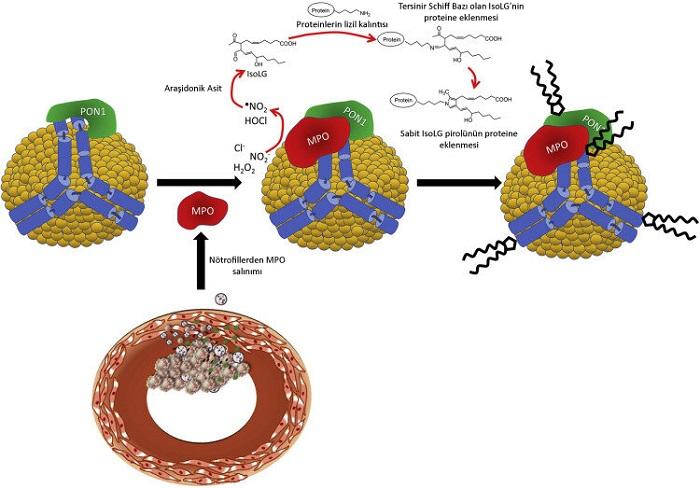 Ateroskleroza Karşı Potansiyel Bir Korunma Yöntemi