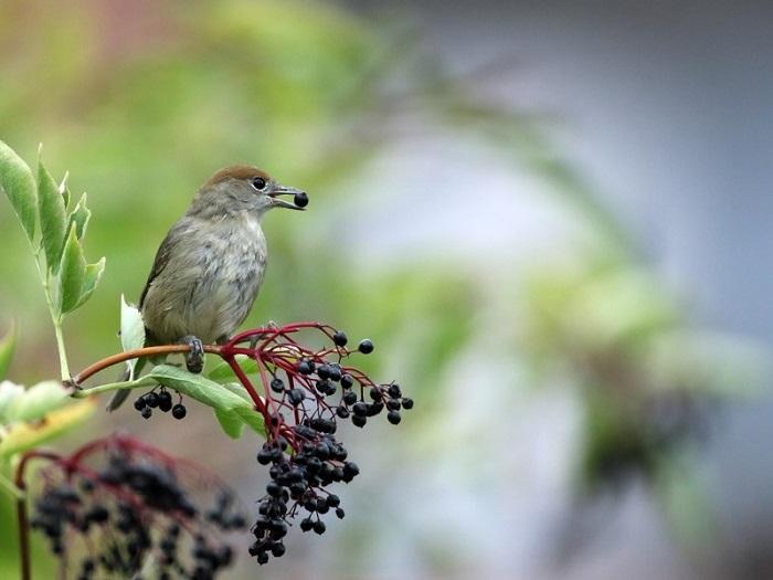 Göçmen Kuşlar, Bitkilerin Yeni İklimlere Taşınmasına Yardımcı Oluyor