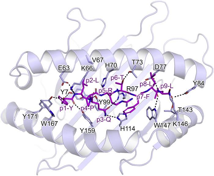 T Hücreleri Spike Proteinini Nasıl Tanır