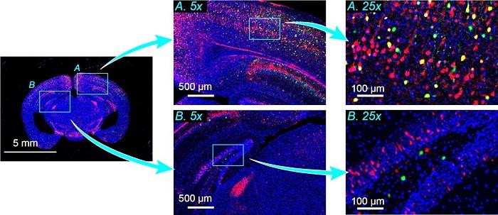 Optik Görüntüleme Sistemi Sadece Bir Görüntüyle Çok Sayıda Hücre Yakalayabilir